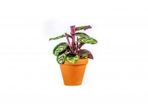 Gardners.cz Calathea roseopicta Cora, průměr 12 cm