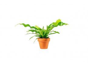 Gardners.cz Microsorum musifolium 'Crocodyllus', průměr 6 cm