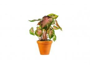 Gardners.cz Caladium Rosebud, průměr 12 cm