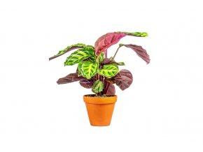 Gardners.cz Calathea Roseopicta illustris, průměr 12 cm