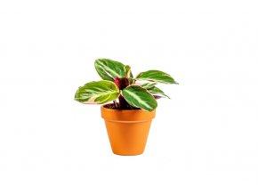 Stromanthe Triostar, průměr 7 cm