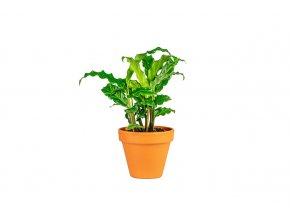 Gardners.cz Calathea rufibarba, průměr 7 cm