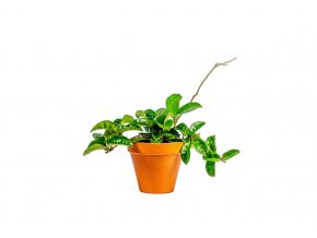 Hoya carnosa Krinkle, průměr 10,5 cm  Voskovka