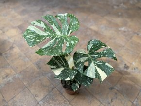 Gardners.cz Monstera deliciosa variegata Thai Constellation11