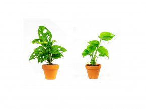 Gardners.cz Set rostlin Baby plants Monstera