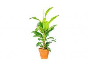 Gardners.cz Ficus benghalensis Roy