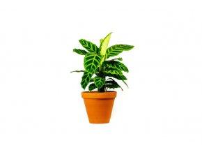 Gardners.cz Calathea zebrina, průměr 14 cm