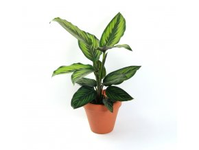 Calathea Beautystar, průměr 11 cm