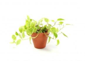 Gardners.cz Peperomia variegata, průměr 12 cm