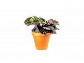 Gardners.cz Calathea roseopicta Dotie, průměr 14 cm