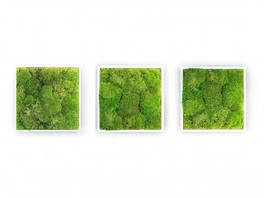 Gardners.cz Set 3 mechových obrazů 35x35 z kopečkového mechu, bílá