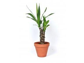 Gardners.cz Yucca, průměr 12 cm