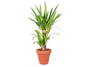 Gardners.cz Yucca, průměr 17 cm