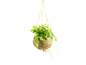 Gardners.cz Kokodama Peperomia rotundifolia (M)