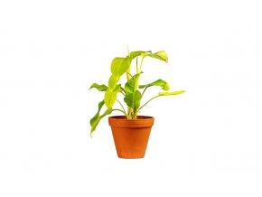 Gardners.cz Philodendron Malay Gold průměr 12 cm
