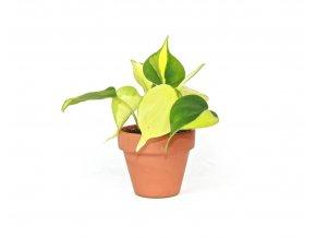 Gardners.cz Philodendron scandens Brasil, průměr 6 cm