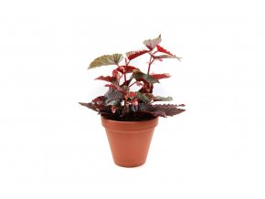 Begonia Beniga Polka Dot Pink, průměr 14 cm