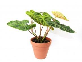 Gardners.cz Philodendron verrucosum Incensi, průměr 15 cm1