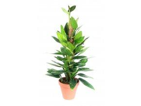 Gardners.cz SPhilodendron Cobra s kokosovou vzpěrou 75 cm, průměr 19 cm1