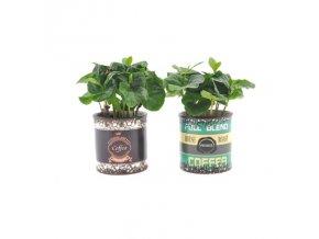 Coffea arabica v keramické květináči, průměr 7 cm