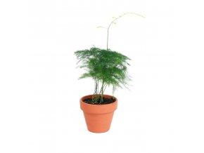 Gardners.cz Asparagus plumosus, průměr 6 cm