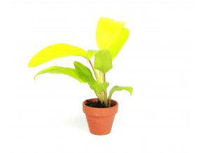 Gardners.cz Philodendron Malay Gold, průměr 6 cm