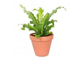 Gardners.cz Asplenium nidus Campio, průměr 12 cm