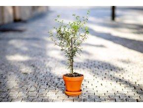 Sophora prostrata Little Baby, 12 cm