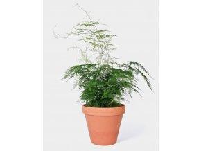 Gardners.cz Asparagus plumosus, průměr 21 cm