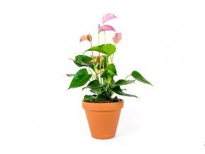Gardners.cz Anthurium pink 2