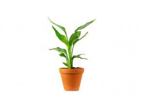 Gardners.cz Strelitzia reginae, průměr 12 cm