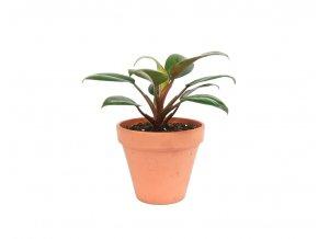 Gardners.cz Philodendron Red Congo, průměr 12 cm2