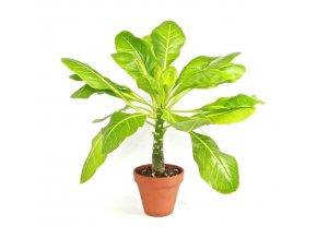 Gardners.cz Brighamia insignis Hawaiian Palm, průměr 12 cm