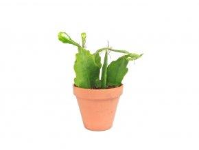 Gardners.cz Epiphyllum anguliger Beavertail, průměr 12 cm