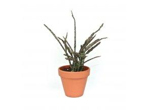 Gardners.cz Euphorbia Platyclada, průměr 9 cm 2