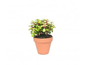Gardners.cz Portulacaria afra variegata, průměr 8,5 cm