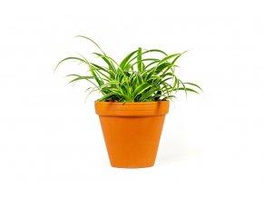 Gardners.cz Chlorophytum variegatum