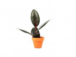 Gardners Ficus elastica Robusta, 6cm