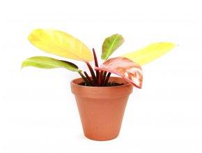 Gardners.cz Philodendron Prince of Orange, průměr 17 cm