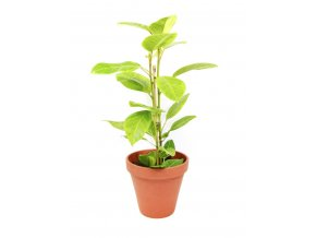 Gardners.cz Ficus elastica Altissima, průměr 17 cm