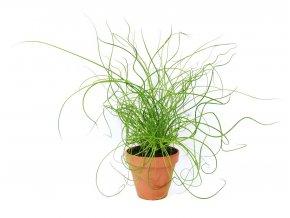 Gardners.cz Juncus effusus Liebeslocken, průměr 12 cm