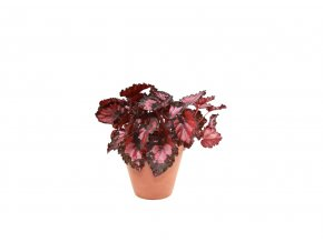 Gardners.cz Begonia BD Beleaf Inca Night, průměr 12 cm
