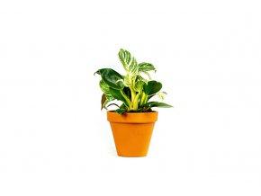 Gardners.cz Philodendron 'White Measure', průměr 11 cm (2)