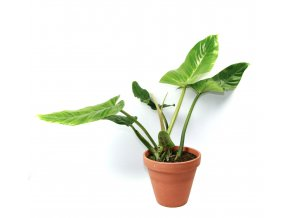 Gardners.cz Philodendron Subhastatum, průměr 15 cm