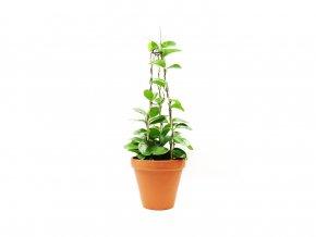 Gardners Hoya australis se vzpěrou, 17cm
