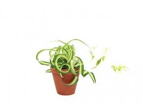 Gardners.cz Chlorophytum Comosum Bonnie, průměr 11 12 cm 2