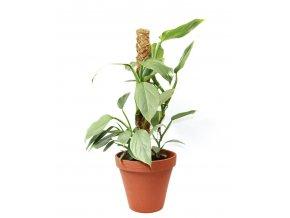 Gardners.cz Philodendron Silver Queen s kokosovou vzpěrou, průměr 17 cm