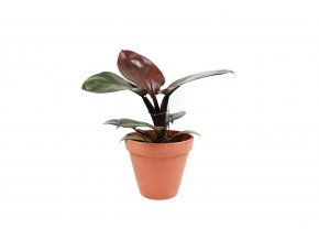 Gardners.cz Philodendron Black Cardinal, průměr 12 cm
