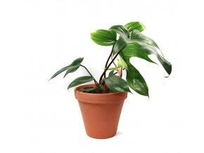 Gardners.cz Philodendron Florida, průměr 17 cm