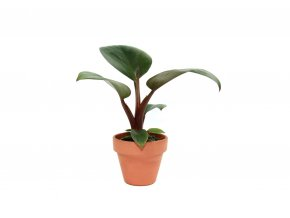 Gardners.cz Philodendron Red Congo, průměr 6 cm